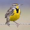 Western Meadowlark Photo Credit: allaboutbirds.org