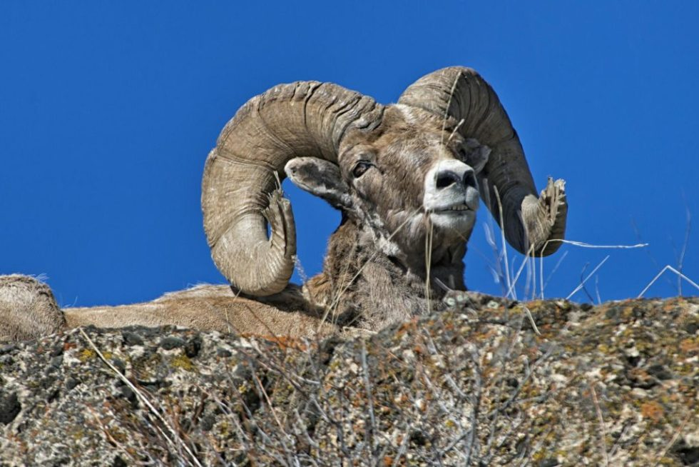 Bighorn Sheep on Wild - Photo Credit: Jeff Beltz