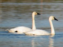 Tundra_Swan_The bird guide