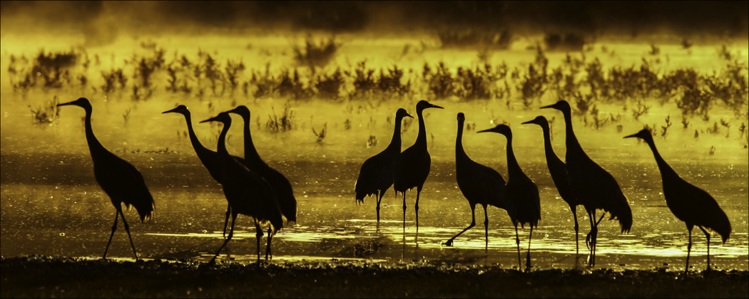 Sandhillcranes Sunset WValleybyDickWalker