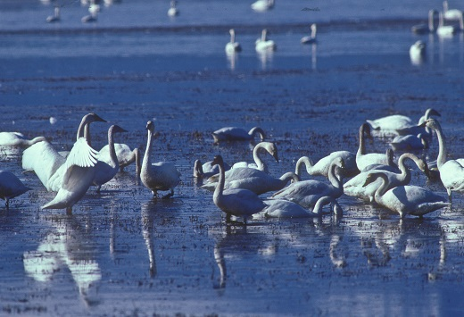 Tundra Swans On The North Shore Of Flathead Lake, By Jan Wassink.