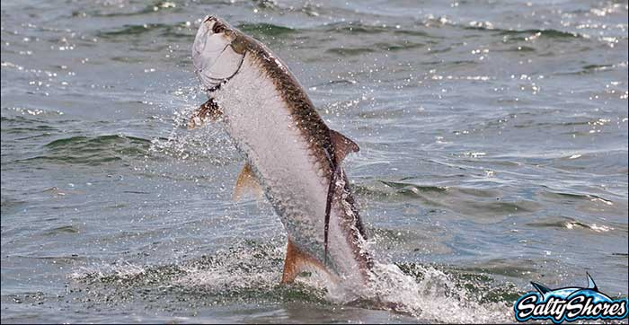 tampa bay fishing guide client with tarpon jumping