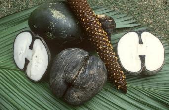 coco-de-mer-seychelles-01