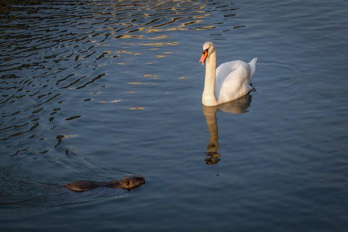 A swan and a coypu swimming in Navigli, Milan