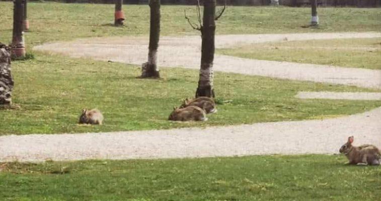 Hares in Milan