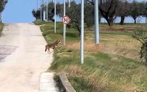 Wolves in Pescara