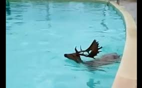 Sardinia - A fallow deer swimming in the pool of a resort in Pula