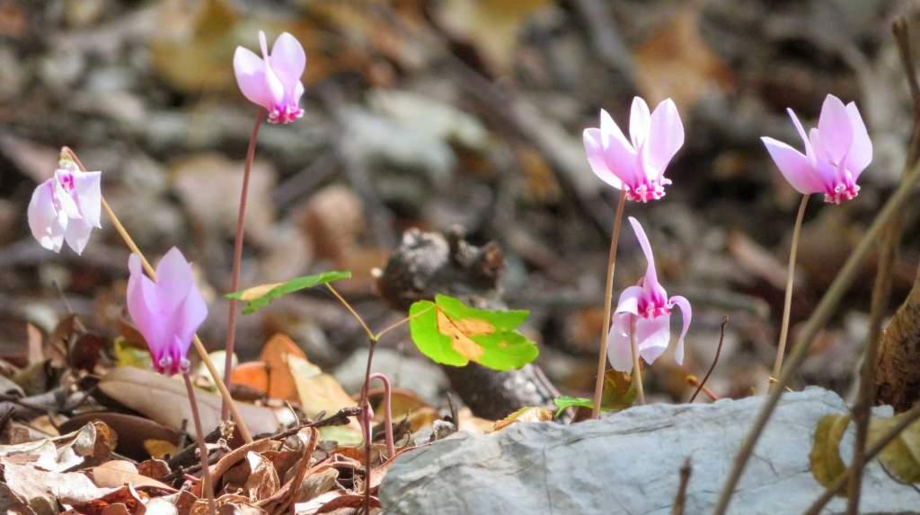 six cyclamens in Monte Tancia