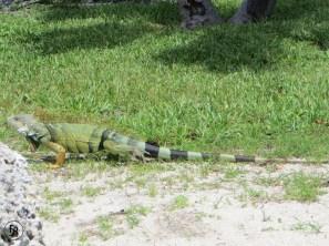 Iguana in Key West (FL)