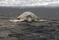 Turtle heating up at Black Sand Beach