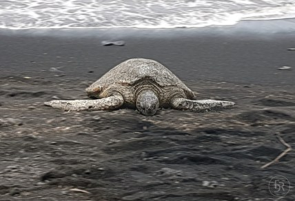 Turtle heating up at Black Sand Beach