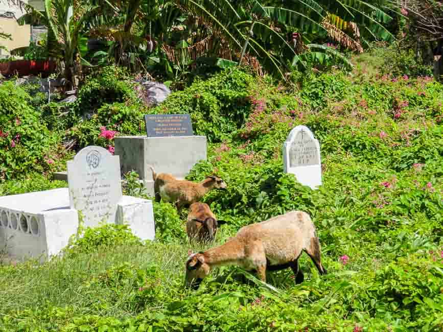 Goats instead of lawnmowers in Petite Martinique cemetery