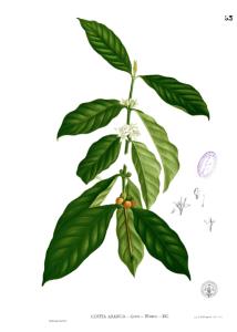 428px-Coffea_arabica_Blanco1.53