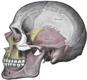 Cranium-lateral-view