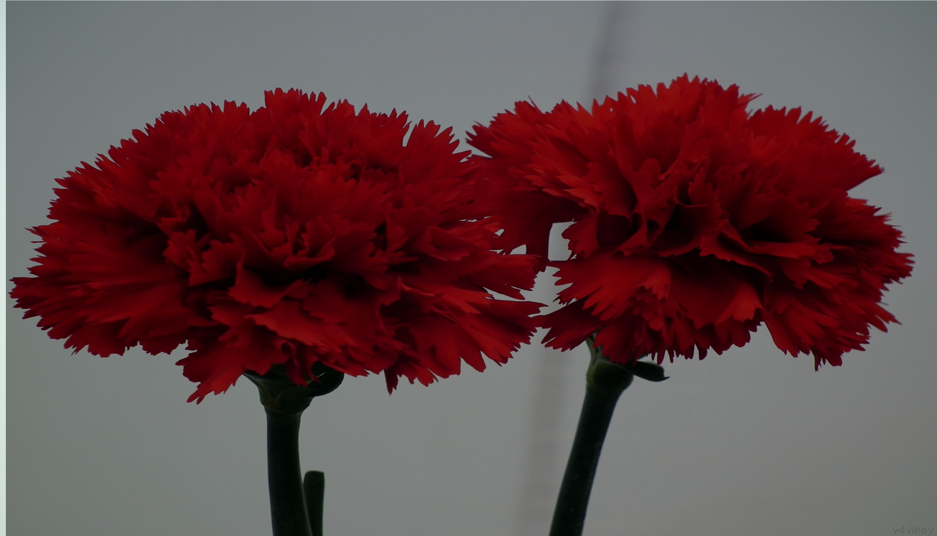 Flawless-Red-Carnations