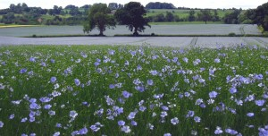 Field of linseed growing in South of England