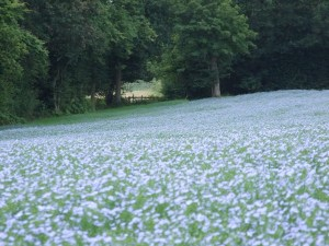 Field of linseed towards gate