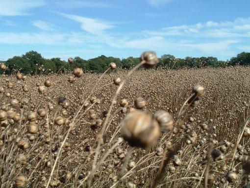 Linseed Field