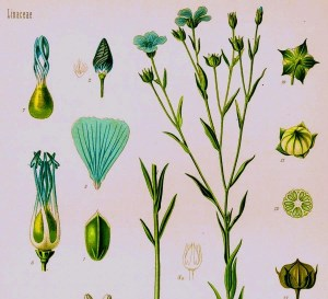 Both linseed and flax are varieties of Linum usitatissimum