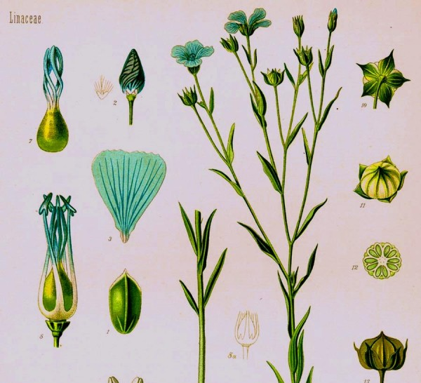 Both linseed and flax are varieties of Linum usitatissimum