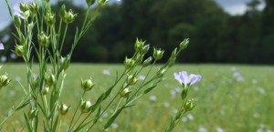 Linseed or flax capsules are called bolls