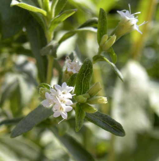 Flowers of Stevia rebaudiana