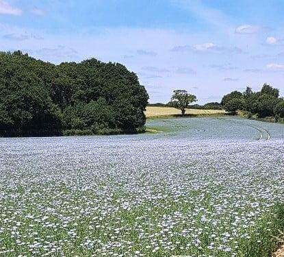 Field of flax linen linseed in flower