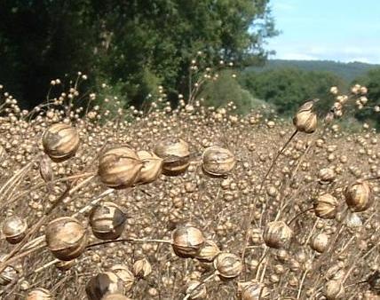 Flax linseed seedheads
