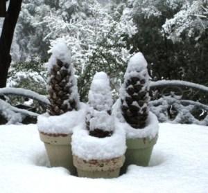 snowy pine cones