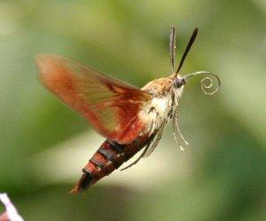 Annie Grossart-Steen' Hummingbird moth