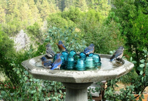 Gorgeous Western bluebirds