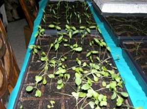Brenda Black's seedling trays indoors
