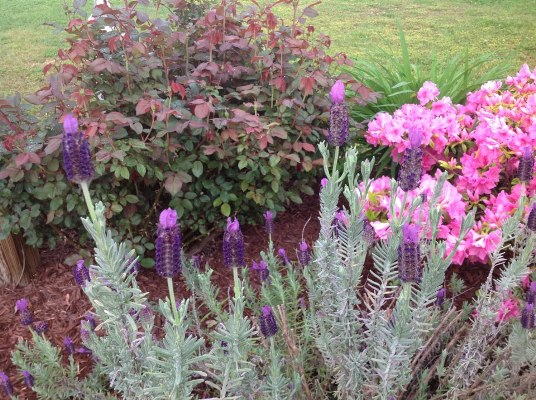Spanish lavender, pink azalea
