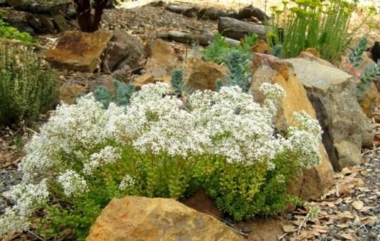 White stonecrop, Sedum album clusianum and blue-green Donkeytail euphorbia