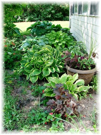 Jeanne Sammons's gorgeous hosta garden