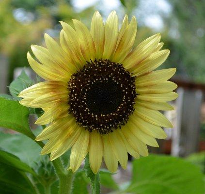 Alien sunflower, the survivor