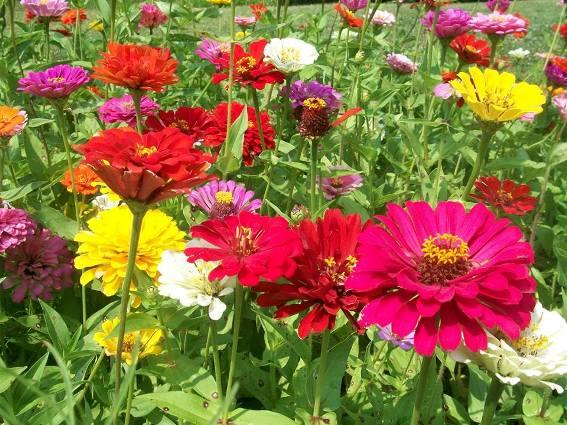 Plantas de la herencia | Flores Perennes | Jardinería Herencia | Usos Medicinales de Plantas | En línea vivero de la planta | De la flor de la flor de la herencia de la flor de la planta - Mukwonago Wisconsin
