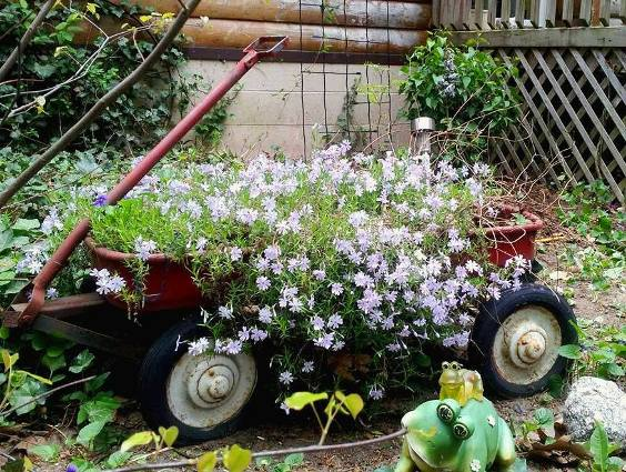 Carolyn Muffler's pale blue garden phlox fill her Radio Flyer