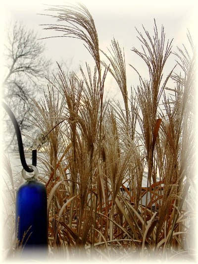 Jeanne Sammons's Miscanthus in Winter