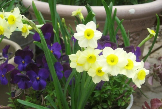Bulbs and violas