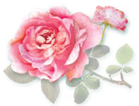 stephie cabbage rose