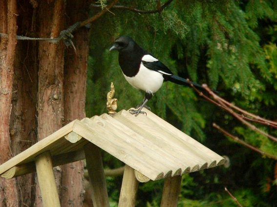 Bogdan Dabrowski built his bird feeder from scrap wood he collects. A Eurasian Jay enjoys the seed inside.