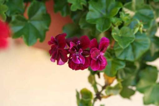 Ivy Geranium – Freestyle. Arctic Red Pelargonium