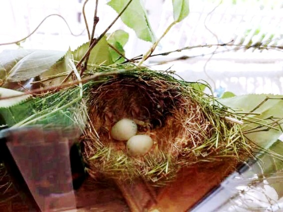 Wanda Clark‎'s purple finch nest