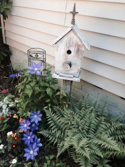 Tommye Doherty's clematis, by her birdhouse
