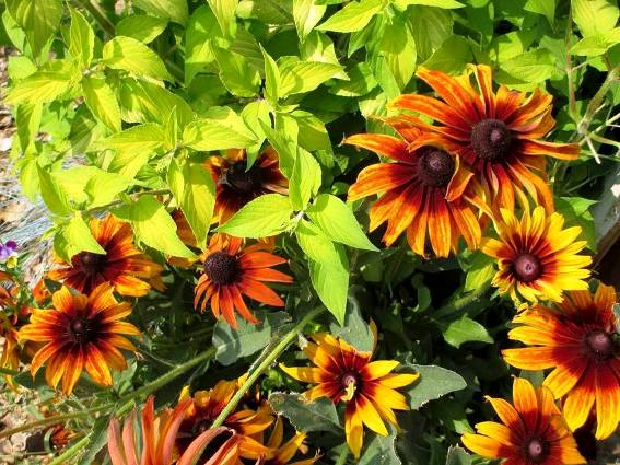 Chartreuse Pineapple sage and Rudbeckia 'Cherokee Sunset'