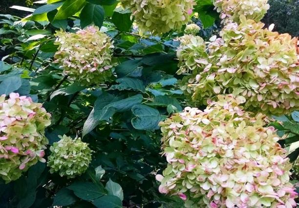 Janet Allen Loves her Limelight Hydrangeas..still going strong
