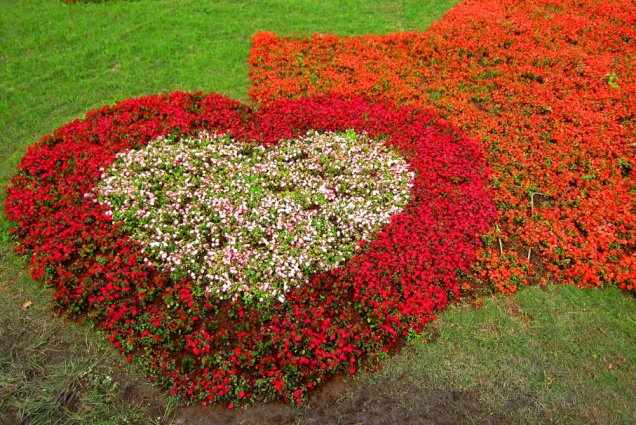 Charming heart shape designusing bedding begonias in the garden