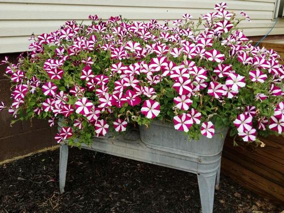 Melody Hook's dazzling display of Crimson Star Petunias