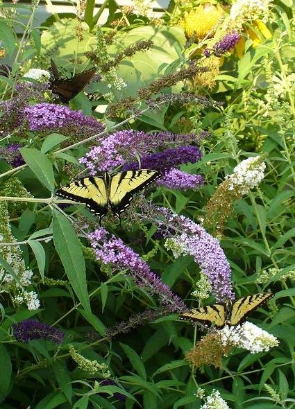 Donna Lesondak I love my butterfly bushes